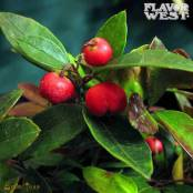 essential oil of Wintergreen, slightly minty oil